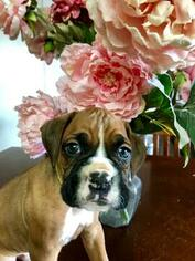 Boxer Puppy For Sale in ELKO, NV, USA