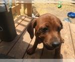 Small Photo #11 America Bandogge Mastiff-Mastiff Mix Puppy For Sale in FORT GARLAND, CO, USA