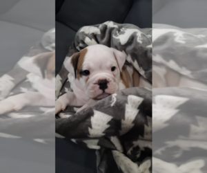Olde English Bulldogge Puppy for sale in ALDEN, MN, USA