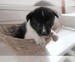 Akita Puppy for sale in CHICAGO, IL, USA