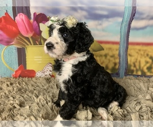 Bernedoodle Puppy for sale in CONCORD, NC, USA