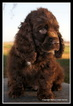 Cocker Spaniel Puppy For Sale in CRETE, NE, USA