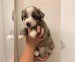 Puppy 6 Australian Shepherd-Border-Aussie Mix
