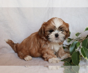 Shih Tzu Puppy for sale in SHILOH, OH, USA