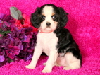 Cavalier King Charles Spaniel Puppy For Sale in MOUNT JOY, PA,