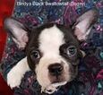 Boston Terrier Puppy For Sale in RISING FAWN, GA