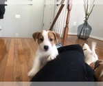 Small #15 Jack Russell Terrier