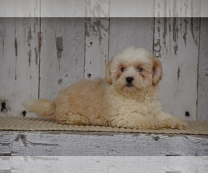 Shih-Poo Puppy for sale in FREDERICKSBG, OH, USA