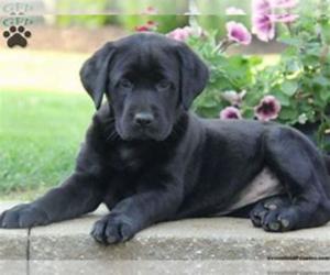 Labrador Retriever Puppy for sale in MIDLAND, MI, USA