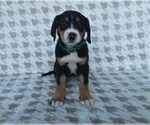Puppy 9 Greater Swiss Mountain Dog