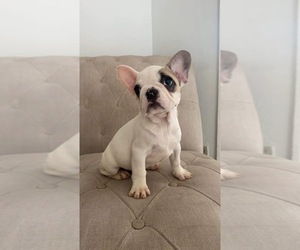 French Bulldog Puppy for Sale in CHULA VISTA, California USA