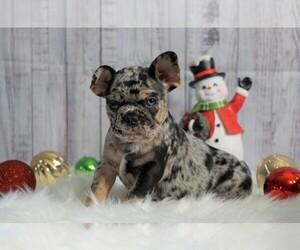 French Bulldog Dog for Adoption in FREDERICKSBG, Ohio USA