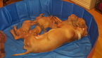 Littler of Vizsla puppies