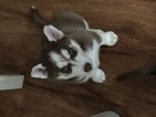 Siberian Husky Puppy For Sale in STAMFORD, CT