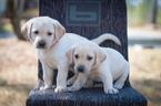 Yellow AKC Labrador Puppies