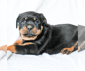 Rottweiler Puppy for sale in EAST EARL, PA, USA