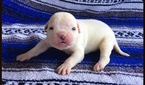 American Bulldog Puppy For Sale in HACIENDA HEIGHTS, CA, USA