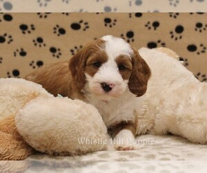 Miniature Bernedoodle Puppy for Sale in DENVER, Pennsylvania USA