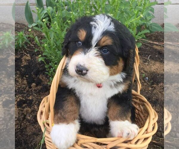 Medium Photo #1 Bernedoodle Puppy For Sale in PORT ROYAL, PA, USA