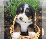Small Photo #1 Bernedoodle Puppy For Sale in PORT ROYAL, PA, USA