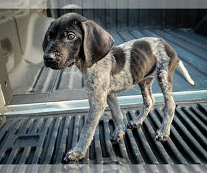 German Shorthaired Pointer Puppy for Sale in MESQUITE, Texas USA