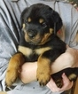 Rottweiler Puppy For Sale in OMAHA, Nebraska,