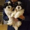 Lhatese Puppy For Sale in VIRGINIA BEACH, VA, USA