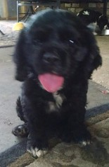 Cocker Spaniel Puppy For Sale in LONG BEACH, MS