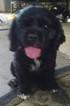 Cocker Spaniel Puppy For Sale in LONG BEACH, MS
