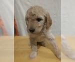 Puppy 5 Goldendoodle (Miniature)