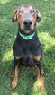 Doberman Pinscher Puppy For Sale in FOUNTAIN CITY, IN,