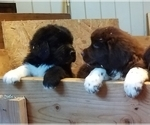 Newfoundland Puppy For Sale in SHELTON, WA, USA