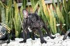 French Bulldog Puppy For Sale in DORAL, FL, USA