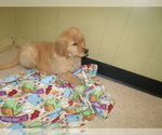Small #5 Golden Retriever