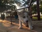 Siberian Husky Puppy For Sale in TARKIO, Missouri,