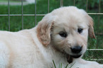 Puppy 6 Golden Retriever