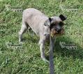 Schnauzer (Miniature) Puppy For Sale in SANGER, TX, USA