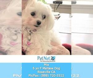 Maltese Dog For Adoption in ROSEVILLE, CA, USA