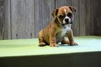 Beagle Harrier-English Bulldogge Mix Puppy For Sale in FREDERICKSBURG, OH, USA