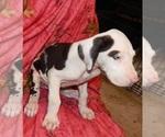 Puppy 10 Great Dane