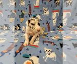 Puppy 8 Great Dane