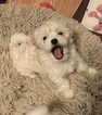 Sweet AKC Havanese Puppies