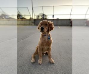 Golden Retriever Puppy for sale in POWDER SPGS, GA, USA
