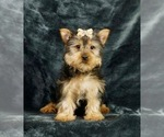 Puppy 13 Yorkshire Terrier