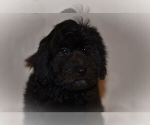 Labradoodle Puppy for sale in WEST BROOKFIELD, MA, USA