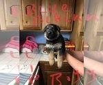 Puppy 10 German Shepherd Dog