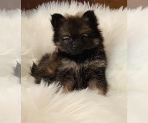 Pomeranian Puppy for Sale in BIG ISLAND, Virginia USA