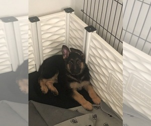 German Shepherd Dog Puppy for sale in BALTIMORE, MD, USA