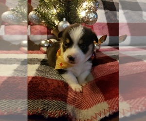 Pembroke Welsh Corgi Dog for Adoption in RICHLAND, Missouri USA