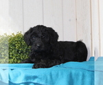Small #1 Labradoodle-Poodle (Standard) Mix